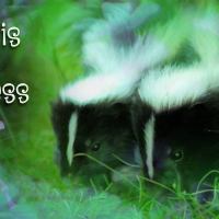 Three Baby Skunks and a Birthday Party