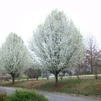 Why I Don't Like Bradford Pear Trees